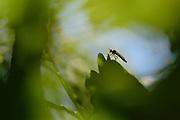 Jagdfliege (Asilidae) auf Eichenblatt