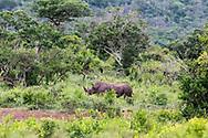 Black rhinoceros-Rhinocéros noir (Diceros bicornis), South Africa.