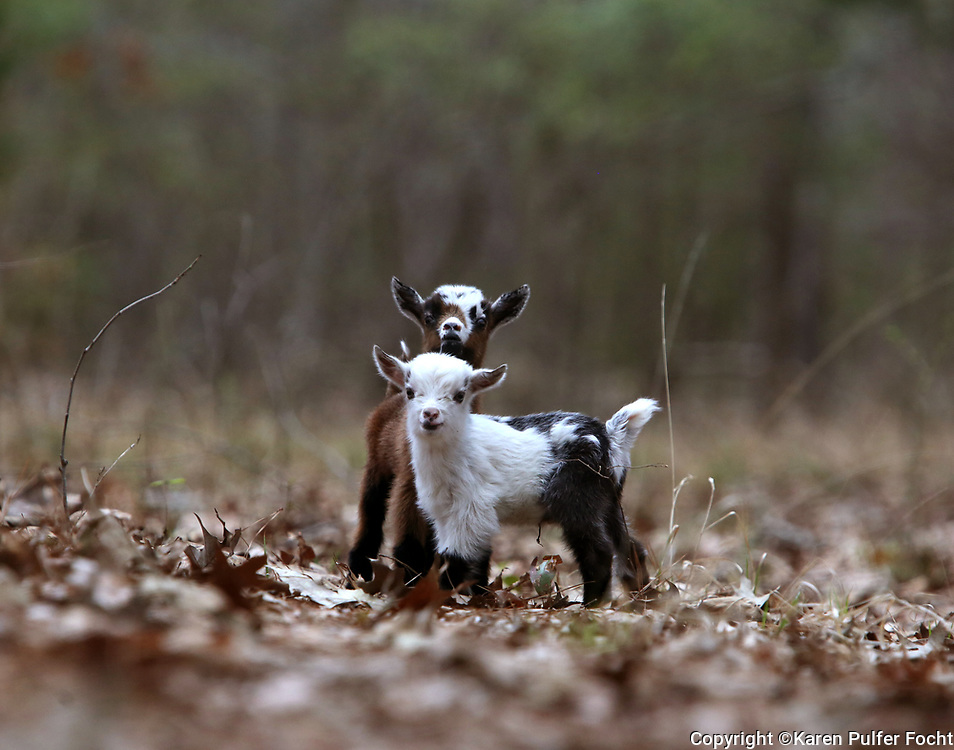 Three day baby goats romp through the woods.