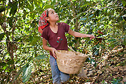 10 NOVEMBER 2004 -- TAPACHULA, CHIAPAS, MEX: Workers on a coffee plantation near Tapachula, Mexico, harvest coffee. Many coffee plantations in Chiapas rely on undocumented workers from Guatemala because their Mexican workers have either emigrated to the US or won't work for the wages plantation owners pay. The mountains of Chiapas, Mexico, make up some of the finest coffee producing land in Mexico. World coffee prices have been depressed by over production in Brazil and Vietnam and thousands of coffee farmers in Mexico and Guatemala have been forced to emigrate to the US as undocumented workers because of the crisis in the coffee industry. PHOTO BY JACK KURTZ