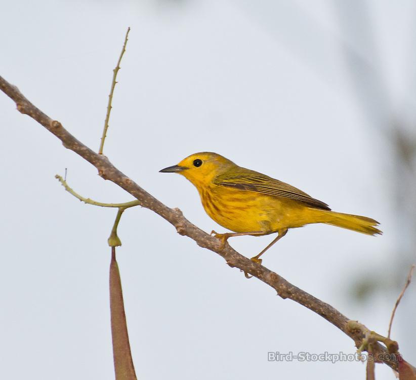 American Yellow Warbler, (Golden Warbler), Setophaga aestiva, Yucatan, Mexico, by Owen Deutsch