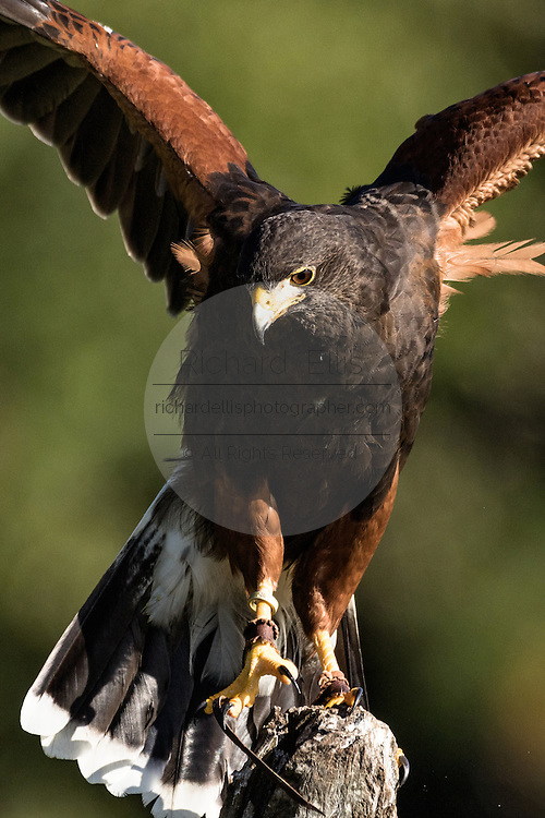 Harris Hawk on a perch at the Center for Birds of Prey November 15, 2015 in Awendaw, SC.