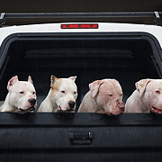 Four Pit Bulls going for a ride in a Toyota Pickup truck in the rain of Hilo Hawaii.