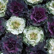 Nederland Giessen  26 augustus 2009 200900826 ..Oogst sierkool, crops ..Foto: David Rozing