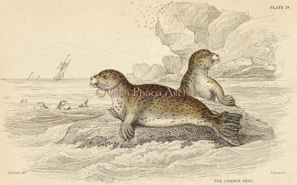 'Common Seal - Phoca vitulina: aquatic carnivorous mammal.  Hand-coloured engraving from ''A History of British Quadrupeds'', Edinburgh, 1838.'