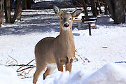 During the winter, white-tailed deer yard up in a densely forested area just east of the town of Eagle River. They're not the least bit shy when it comes to meandering right into the roadside park in town. This guy was not the least bit concerned about me and my truck, but was much more concerned with what was on the menu.
