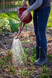 Feeding border plants in spring with liquid feed using a watering can