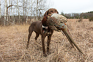 John Zeman hunts pheasants with his German Shorthair Pointer, Luna. John Zeman hunts pheasants with his GSP Luna