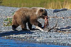 North American brown bear /  coastal grizzly bear (Ursus arctos horribilis) cub eating a salmon along the banks of Skilak Lake / the Kenai River, Kenai National Wildlife Refuge, Alaska, United States of America