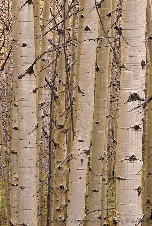 Aspen tree [Populus tremuloides] trunks; Kebler Pass, Gunnison National Forest, Colorado