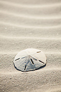 Sand dollar on the beach on the Isle of Palms, SC.