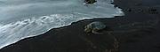 Hawksbill turtle, Punaluu Black Sand Beach, Island of Hawaii<br />