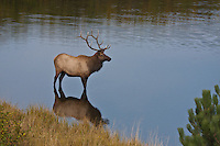 Rocky Mountain bull elk (cervus elaphus)  in a lake during the rutting season.  Colorado