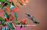 01162-093.19 Ruby-throated Hummingbird (Archilochus colubris) male at Cigar Plant (Cuphea ignea)  Shelby Co. IL