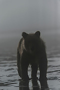 Brown Bear  at Silver Salmon Creek Lodge in Lake Clark National Park