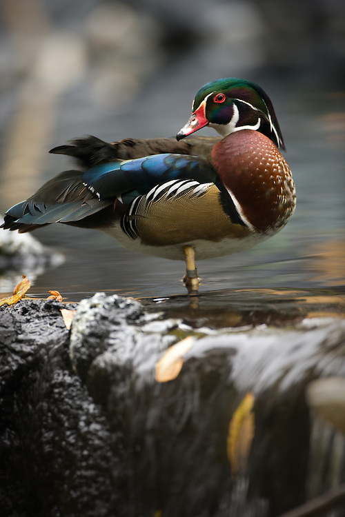 One of the most beautiful birds in the world, a colorful drake wood duck preens himself while standing on the edge of a waterfall.