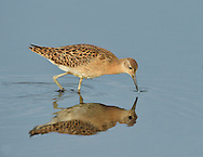 Ruff - Philomachus pugnax. L 23-29cm. Variable wader but rather small head is a consistent feature. Has slightly downcurved bill, orange-yellow legs and, in flight, narrow white wingbar and white sides to rump. Male is smaller than female and, in breeding season, has unique head decorations. Adult male in summer has brownish upperparts, many feathers with black tips and bars. On breeding grounds, briefly has facial warts and variably coloured ruff and crest feathers. Adult female in summer has grey-brown upperparts, many feathers with dark tips and bars; underparts are pale. Winter adult has rather uniform grey-brown upperparts and pale underparts. Juvenile recalls winter adult but has buff suffusion and scaly-looking back. Voice Mostly silent. Status Rare breeding species on freshwater wetlands. Fairly common passage migrant, favouring coastal freshwater pools; scarce in winter.