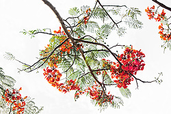 Royal Poinciana Tree Delonix Regia #9