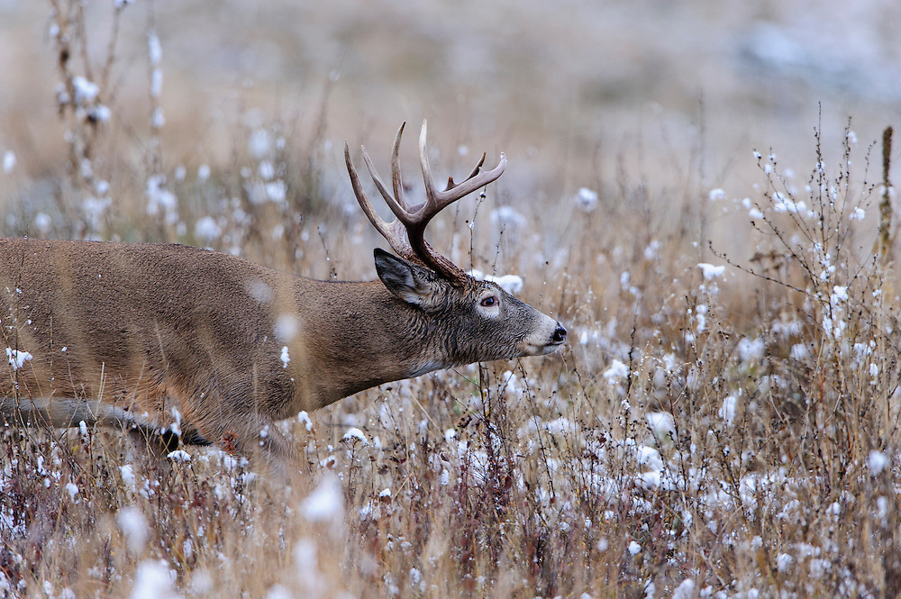 White-tailed deer buck moves with purpose towards a nearby doe during the Autumn rut, Western US