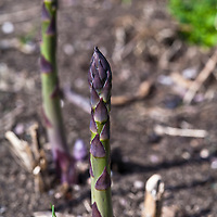Asparagus spears breaking through the ground in the spring garden.
