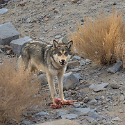 Tibetan Wolf feeding on a sheep kill in Ladakh India.