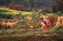 KATHMANDU, NEPAL - A Nepalese woman harvests a field in the Kathmandu valley. The ecomomy of Nepal relies on agriculture with most of its workforce growing sugarcane, rice, maize, wheat, potatoes, vegetables, and tobacco in the lowlands. (PHOTO © JOCK FISTICK)