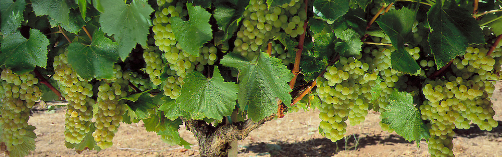 Chardonay Grapes on the Vine.