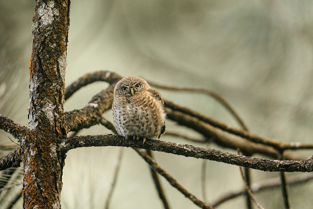 The Cuban pygmy owl perched on a pine branch in Humbolt National Park in Eastern Cuba on Feb. 2, 2016.