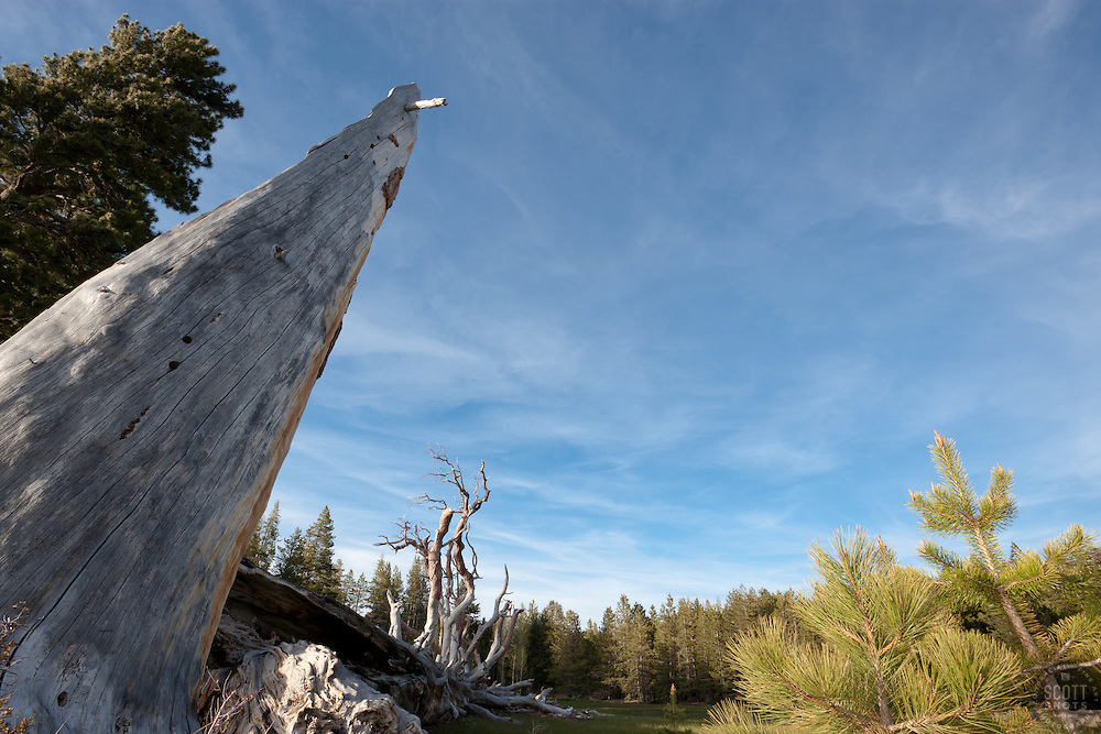 """Tree Stump near Independence Lake, CA""  - This large tree stump and pine tree were photographed at Independence Lake, CA"