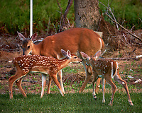 Fawns with Spots and Doe. Image taken with a Fuji X-T2 camera and 100-400 mm OIS Telephoto Zoom lens