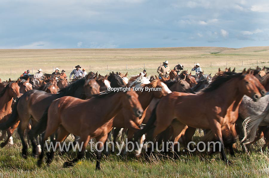 bucking horses and cowboys running horse herd, blackfeet indians moving horses on the blackfeet indian reservation