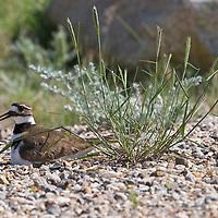 Killdeer on its nest. Madison Valley, Montana.