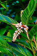 Shell ginger flower, Botanical garden, Waipio Valley, Big Island of Hawaii