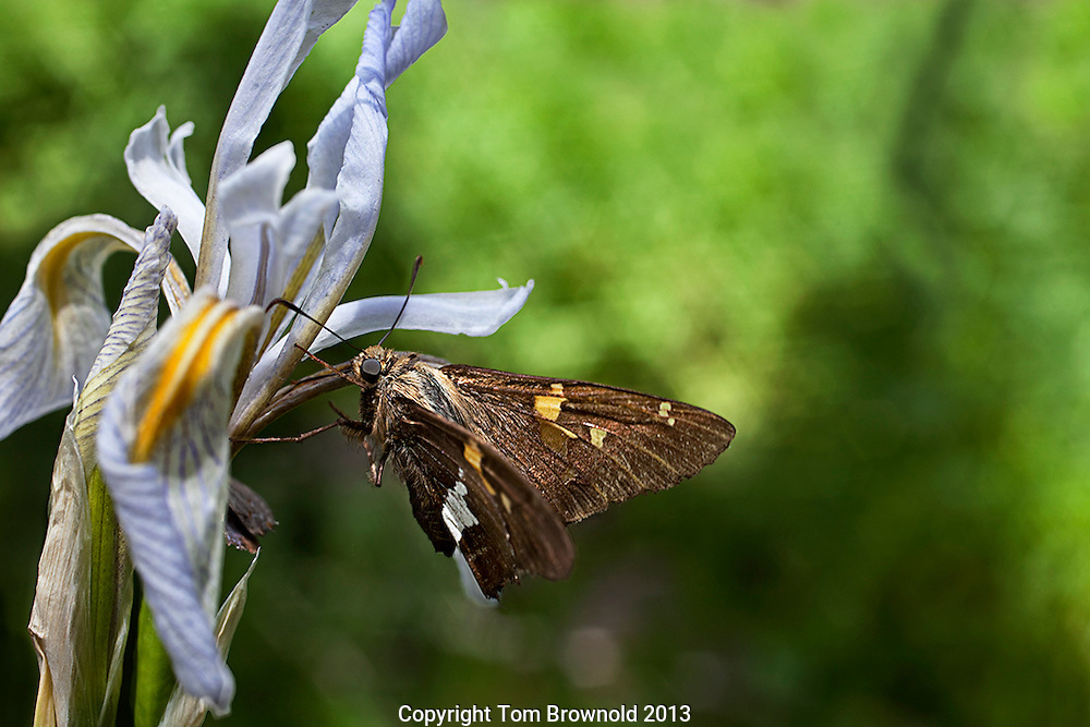 Wild Iris with silver skipper butterfly