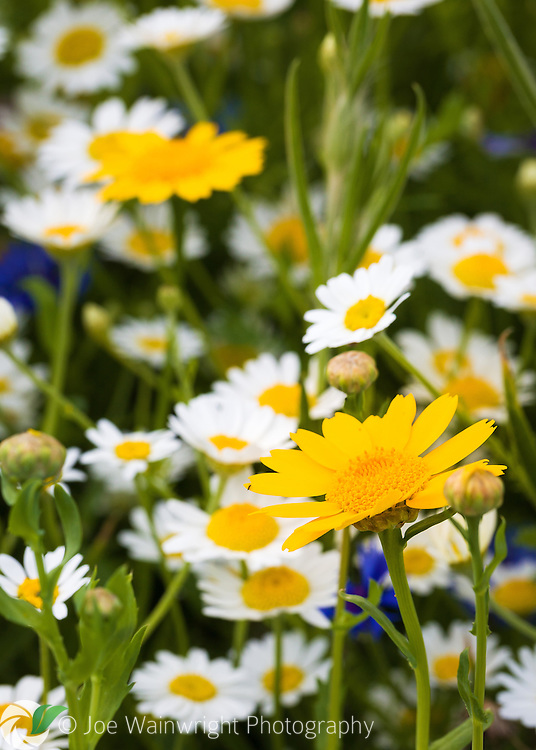 Corn Marigolds and Oxeye Daisies in an English Garden