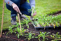 Planting spring bedding plants