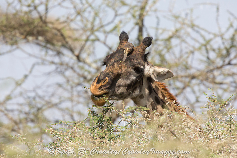 Giraffe with Ox-pecker bird in African habitat