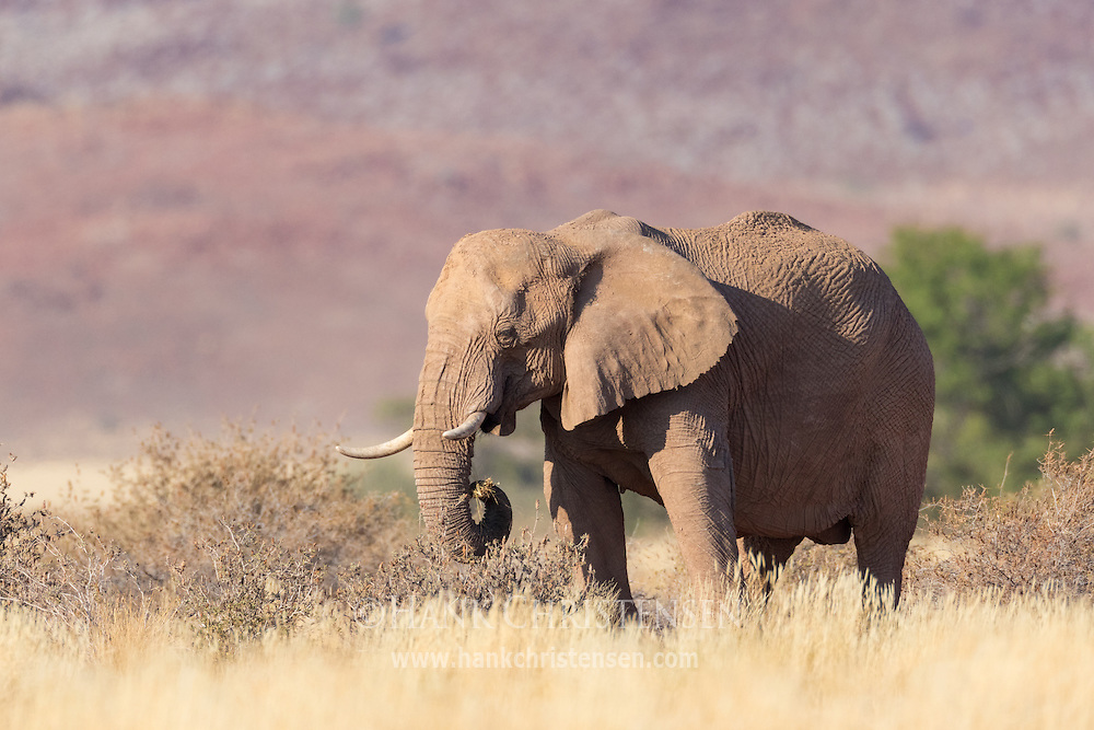 A desert-adapted African bush elephant grazes on dry grass and bushes, Twyfelfontein, Namibia.