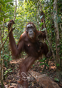 A female adult Bornean orangutan with an infant hanging from her emerges from the forests of Tanjug Putin National Park in Indonesia.