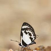 Straight Pierrot, Caleta roxus. Chaloem Phrakiat Thai Prachan National Park, Thailand.