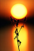 Thistle and sunset, United Kingdom RESERVED USE - NOT FOR DOWNLOAD -  FOR USE CONTACT TIM GRAHAM