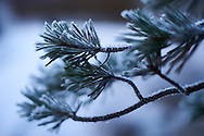 Close-Up Of Snow Covered Pine Tree on Ordesa y Monte Perdido National Park in Spain