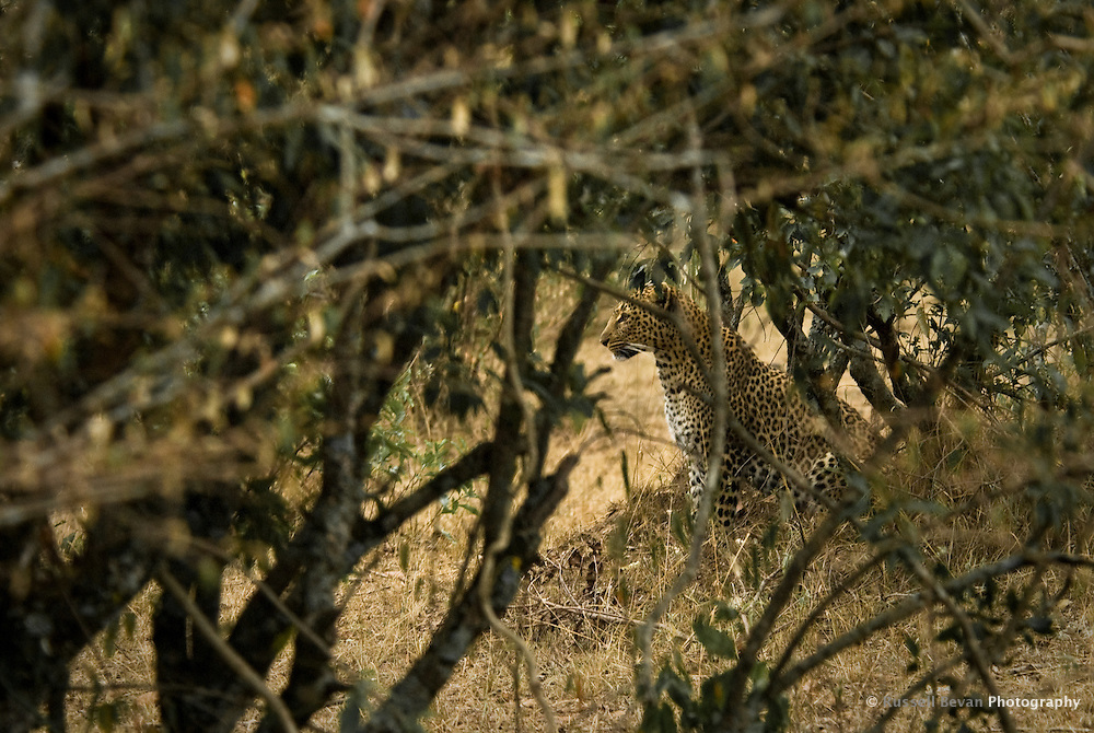A female Leopard sitting in the bush in the Masai Mara National Park, Kenya