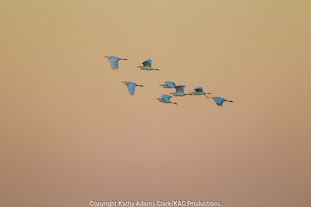 Cattle egret, Bubulcus ibis, flock, in flight, sunset, Katy Prairie, west Harris County, coastal prairie, Texas.