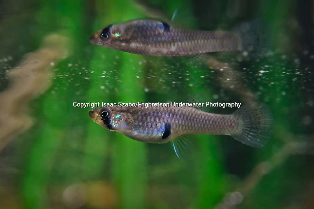Eastern Mosquitofish<br /> <br /> Isaac Szabo/Engbretson Underwater Photography
