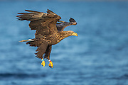 White-tailed eagle diving for a fish | Havørn stuper etter fisk.