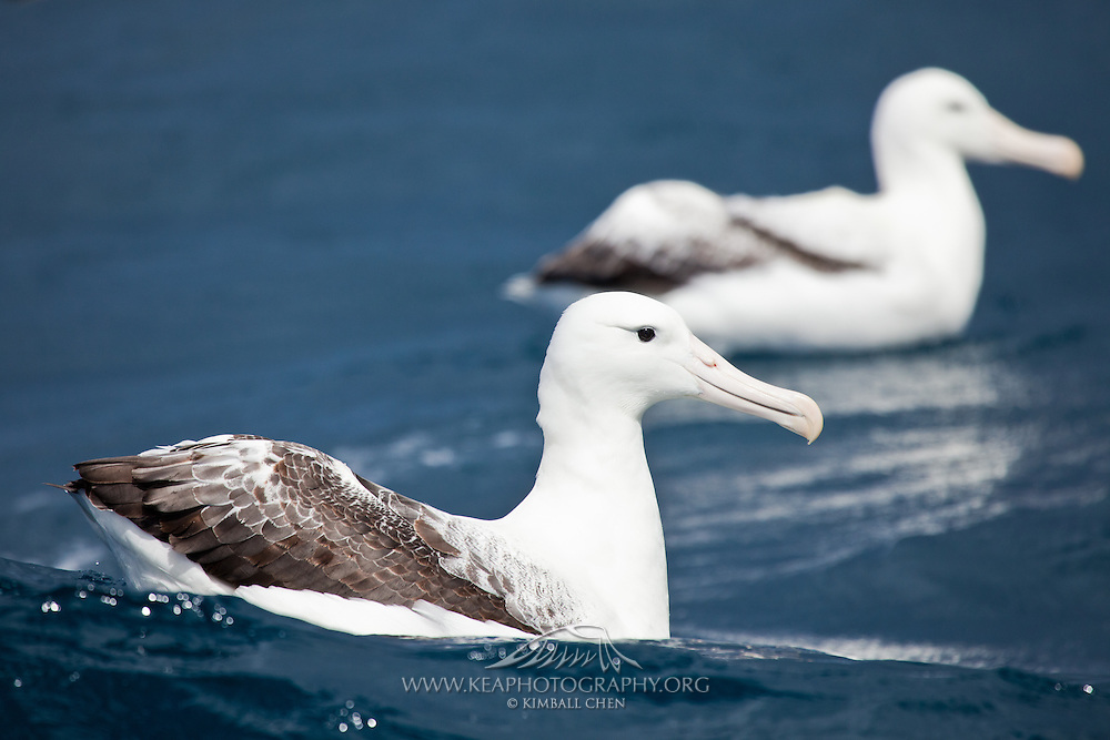Southern Royal Albatross, Stewart Island, New Zealand