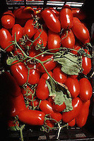 August 1997, Tuscany, Italy --- Ripe Plum Tomatoes --- Image by © Owen Franken/CORBIS