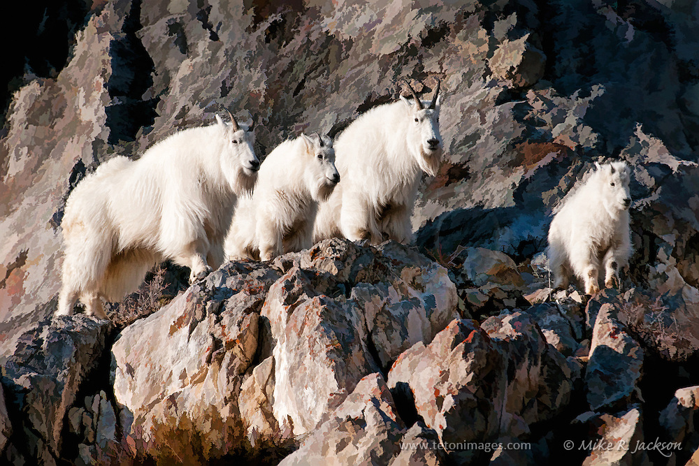 A family of Mountain Goats standing on a rock ledge in the Snake River Canyon of western Wyoming.