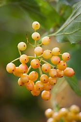 Viburnum opulus 'Xanthocarpum' AGM.Yellow-fruited guelder rose
